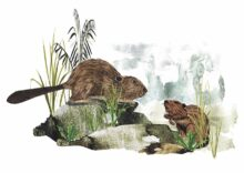 Reintroduction of Beavers to Scotland